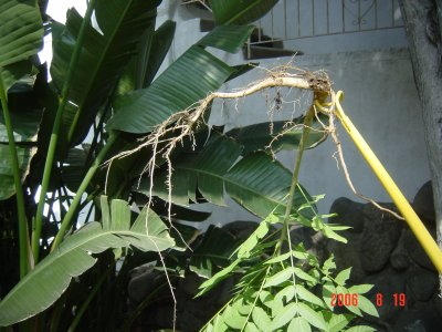 Weed Twister vs. Ailanthus - See enlarged image!