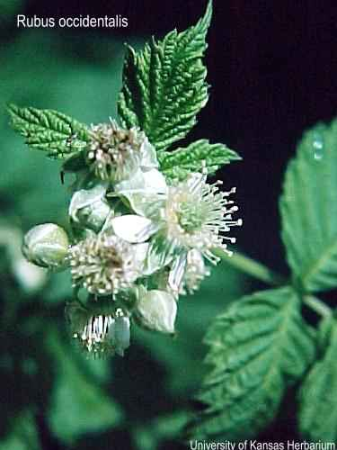 rubus occidentalis USDA